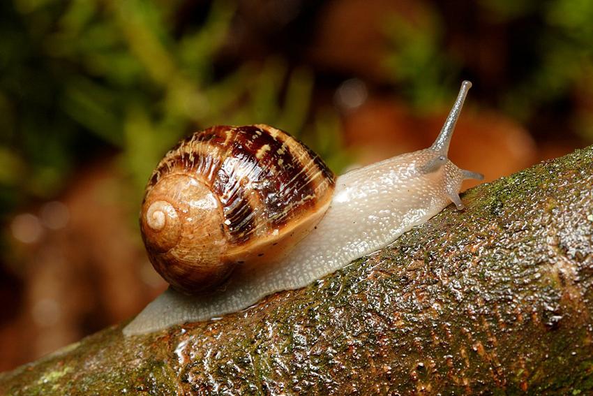 L'escargot à coquille carrée : quand la différence est une force